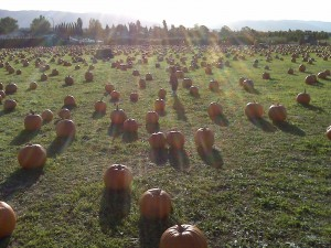 A striking picture of San Jose's largest pumpkin patch!  I let my son roam free amongst the gourds.